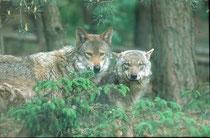 Wölfe im Tierpark Schorfheide