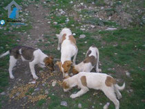 Straßenhunde am Fütterungsplatz