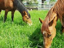 Livia und Kenia geniessen täglich das frische Gras auf der Weide