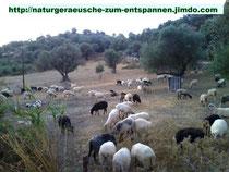Schafe beim Grasen auf der Weide / Kreta