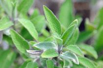 Salbei (Salvia) wird auch «Mutter aller Kräuter» oder «Königin unter den Heilpflanzen» genannt. Salbei ist eine der vielseitigsten Heilpflanzen. Alle Pflanzenteile von der Blüte bis zur Wurzel werden verarbeitet.