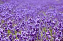 Lavendel (Lavandula): Milderung bei Innerer Unruhe, nervöse Erschöpfung, Einschlafstörungen, Migräne, auch bei nervösen Magen- Darm und Gallenbeschwerden.