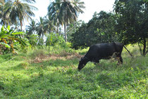 Eine Kuh haben wir bereits schon. Langfristiges Ziel ist, durch Viehhaltung und Ackerbau Hilfe zur Selbsthilfe zu leisten.