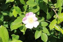 Die Hunds-Rose blüht dort wo man sie wachsen lässt und beschert uns mit wunderschönen Blüten und im Herbst mit Hagebutten. Foto: Konder
