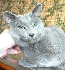 Этот красивый кот - из питомника Bonianta, одного из первых питомников русских голубых в России.