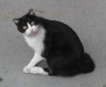 やっとお目見え!未手術の黒白猫