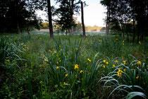 Iris d'eau, Réservoir de champaubert, Lac du Der