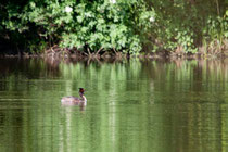 grèbe huppée, étang aux environs du lac du Der
