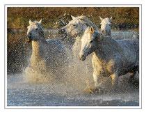 Magnifiques chevaux de Camargue en liberté