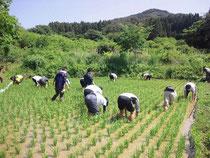 裸足で田んぼの草取り