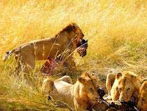 leoni preda Masai Mara in2kenya safari great migrations grande migrazione watamu
