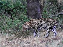 leopardo tsavo ovest in2kenya safari watamu kenya