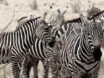 zebre - tsavo est in2kenya safari watamu kenya