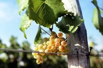 debut vendanges 2013 chardonnay chablis