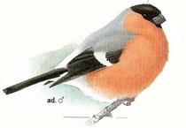 aus: Svensson u.a.; Kosmos Vogelführer
