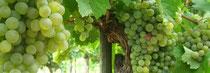 Reben im Weingut Steinbatz