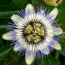 Passiflora incarnata, una pianta officinale contro l'ansia