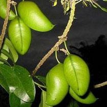 Griffonia simplicifolia, una pianta officinale contro l'ansia