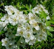 Biancospino, una pianta officinale contro l'ansia