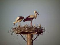 2011 - Erstes Storchenpaar im Horst