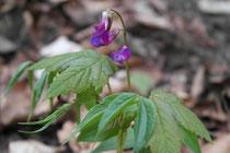Die Frühlings-Platterbse - eine seltene Pflanze artenreicher Wälder
