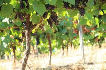 La vigne de gaillac