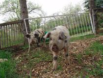 Unsere neuen Turopolje Schweine