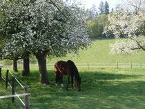 Der alte Charly unter den blühenden Apfelbäumen