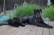 Briard Gaspard und Dogge Buddy, im Hintergrund Tamy