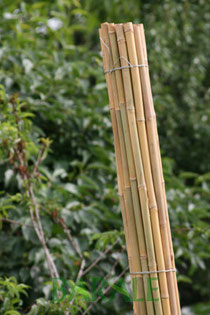 Canne in bambù