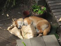 遊び疲れて、米袋を枕に 一休み