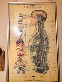 自律神経と各臓器の関連