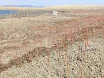 刈取り前のヤナギ若木林