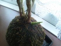 苔玉からデンドロビュームの新芽がでました。