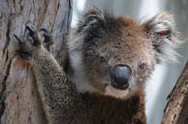 Der Koala, mal die Augen offen. Kommt sehr selten vor.