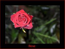 Rose, René Kriesch