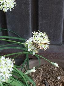 ニラの花とミツバチ