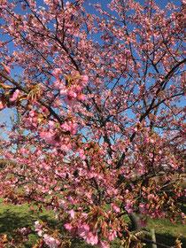2月14日の河津桜