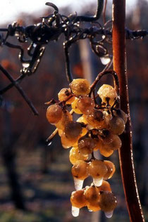 Monein, domaine Cauhapé, vendanges tardives