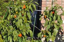 家庭菜園 パプリカ