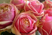 rose/ピタハヤ