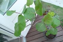 シーグレープ/観葉植物