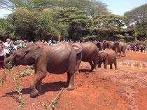 приют для слонят Sheldric в Найроби