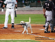Titus il Bat Dog dei River Dogs Charleston