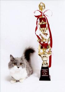 父猫マンチカン 短足ブルー&ホワイト ICCベビーチャンピオンを獲得