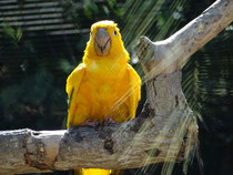 Goldsittich aus dem Loro Parque