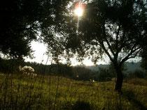 Olivenernte, Sonnenaufgang