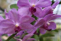 Orchideenfarm, Chiang Mai