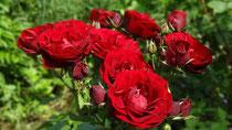 Rosen für die Geburtstagskinder und ihre Eltern aus unserem Garten