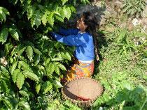 Kaffee-Ernte in Lalitpur